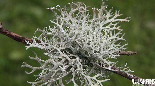 Парфюмерия с ароматом дубового мха