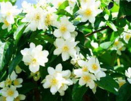 Аромат жасмина в женской парфюмерии